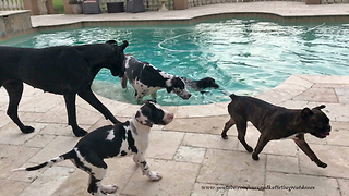 Great Danes Have Friends Over For a Pool Party