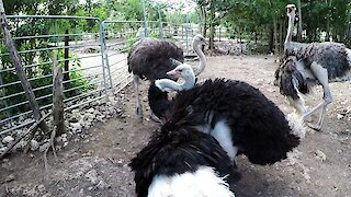 Giant ostrich performs funky dance to attract female at rehab sanctuary