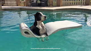 Laid back Great Dane loves chilling on pool floatie