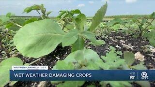 Farmers impacted by weeks of heavy rain, Tropical Storm Eta