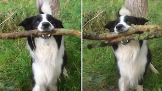 Dog hilariously struggles to fit stick through gate