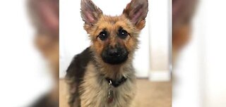 German Shepherd is a forever puppy