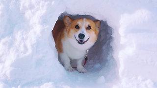 Adventurous corgi explores snow tunnel