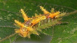 Look but don't touch: Stinging Nettle Slug Caterpillar