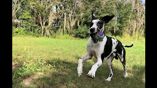 Great Danes have funning running around palm trees