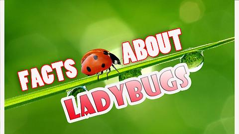 LADYBUGS EGGS, FACTS ABOUT LADYBUGS