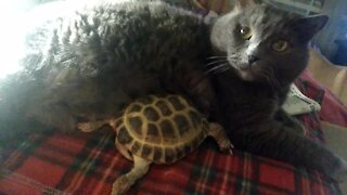 Pet turtle loves to snuggle with kitty best friend
