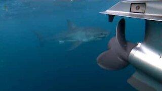 Great white shark attacks fishermen boat in Australia