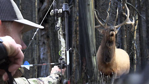 SCREAMING bulls IN YOUR FACE! Bow hunting elk, public land DIY