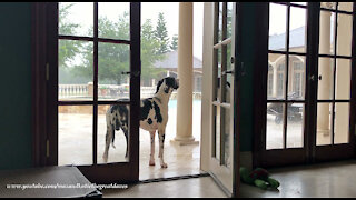 Funny Great Dane Stops Playing To Watch The Florida Rainstorm