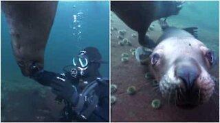 Leoni marini nuotano pacificamente insieme ai sub