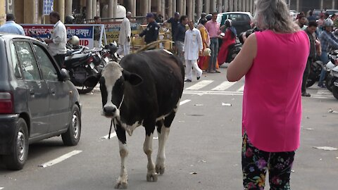 Kindly tourist shows compassion for hungry street cow in India