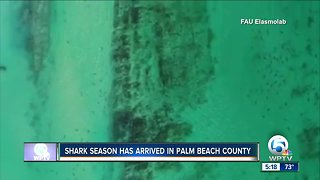 Shark migration off Palm Beach