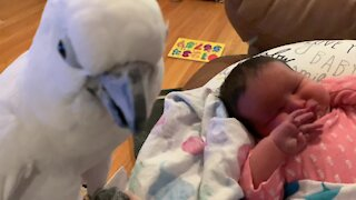 Precious moment cockatoo meets newborn baby for the first time