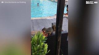 Scoiattolo ruba del cibo nella piscina dell'hotel