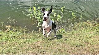 Splashing And Dashing Great Dane Loves To Run Zoomies