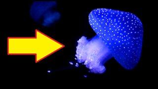 A blue Jellyfish Glowing In Dark Water