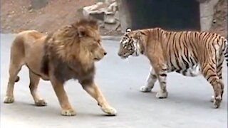 Must watch - 10 Animals That Can Defeat A Lion
