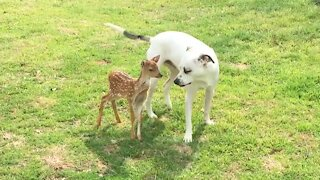 Friendly dogs obsessed with new rescue fawn addition