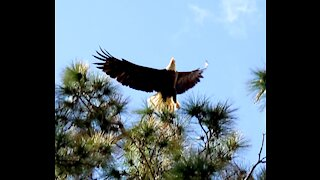 Bald eagle takes flight! Pt 2
