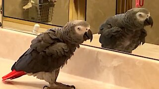 Musical parrot loves to dance with his reflection