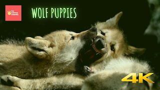 Wolf puppies with their mom