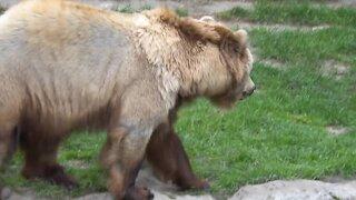 A Beautiful Wild Bear