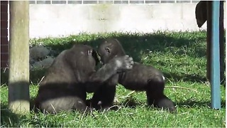 Gorilla Youngster Preciously Plays With Baby Brother