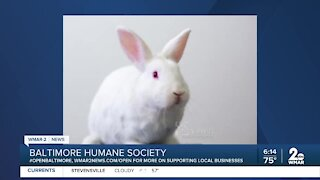 Bugsy the rabbit is up for adoption at the Baltimore Humane Society