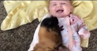 Boxer Preciously Snuggles With Baby