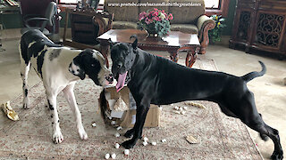 Great Danes loves opening packages together