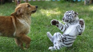 Puppy vs Baby Tiger Fight Cute Moments