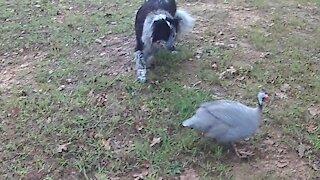 Border Collie Herding Guineas