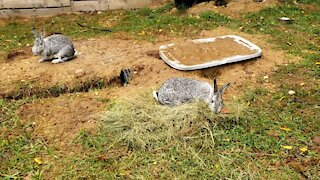 Bunny Collecting Grass