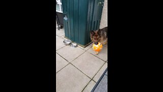 Dog running with a ball