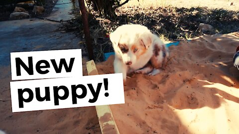We get a new puppy on the farm! And it's the cutest Australian Shepherd