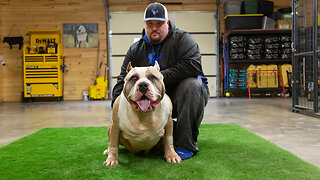 Huge 180lb Bully Challenges Dad's Record Weight   BIG DOGZ
