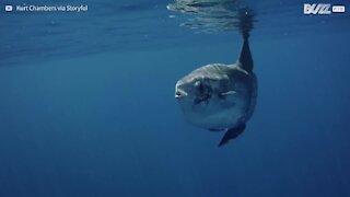 Incontro speciale tra sommozzatori e un pesce luna gigante