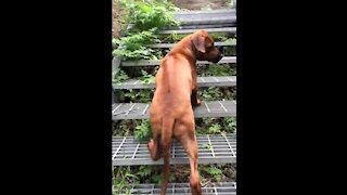 Mister Brown The Rhodesian Ridgeback; loyal even unto the steps of hell