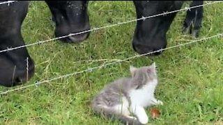 Australien: frygtløs killing skræmmer køerne