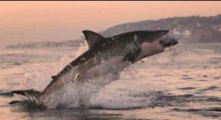 Hvithai hopper rett opp av vannet like ved en båt i Sør-Afrika
