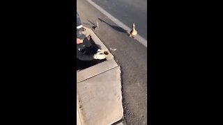 Firefighters go the extra mile to rescue ducklings in sewer drain