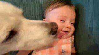 Dog affectionately licks toddler's face