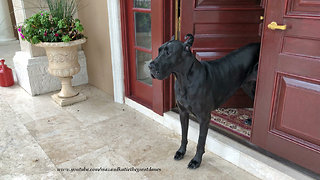 Great Danes Like To Watch Florida Rain But Not Get Wet