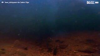Impressionante: Águia-pesqueira apanha peixe!