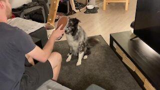 """Australian Shepherd """"faints"""" from owner's stinky shoe"""