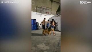 Golden Retriever loves to play basketball