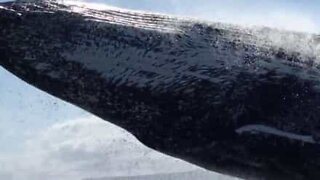 Jumping whale narrowly misses boat