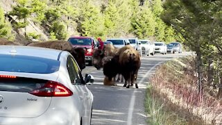 Tired Baby Bison Calf Stops Traffic in Yellowstone (rumble)