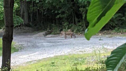 Southern NH Bobcat